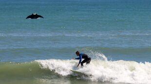 Gigantyczna płaszczka wyskoczyła z oceanu. Prawie zderzyła się z surferem