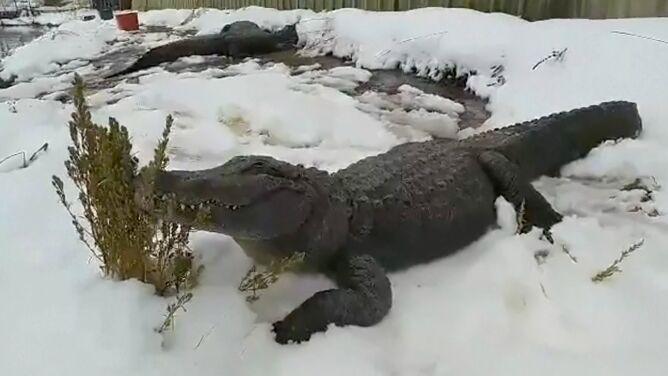 Zima przyszła niespodziewanie, aligatory wygrzewają się na śniegu